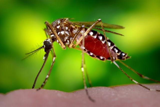Waspadai Nyamuk 'Elite' Aedes Aegypti