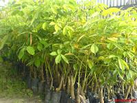 Beberapa cara pemeliharaan tanaman karet