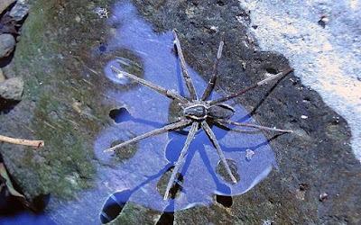 Spesies Baru Laba-laba yang Bisa Berjalan di Atas Air