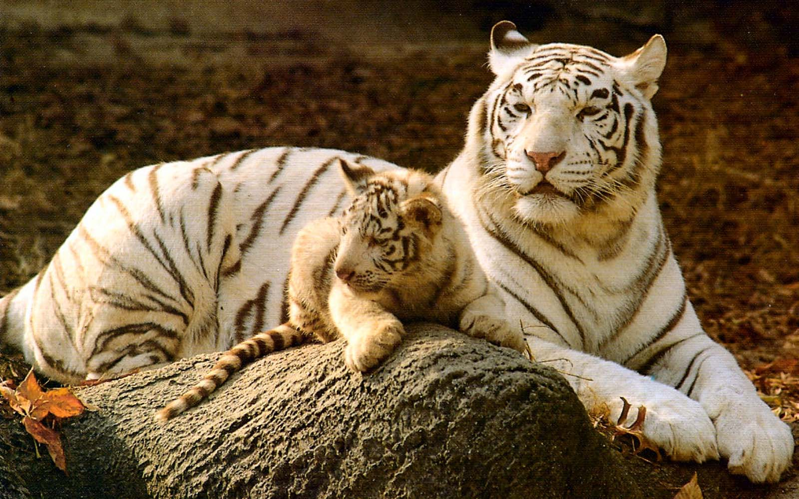 Baby White Tigers Wall...