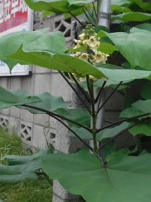 葉の付き方は、対生と3輪生