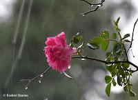 Flower in Rain
