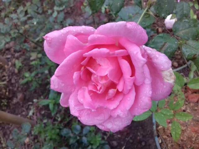 hoa hồng phấn nữ hoàng sa đéc
