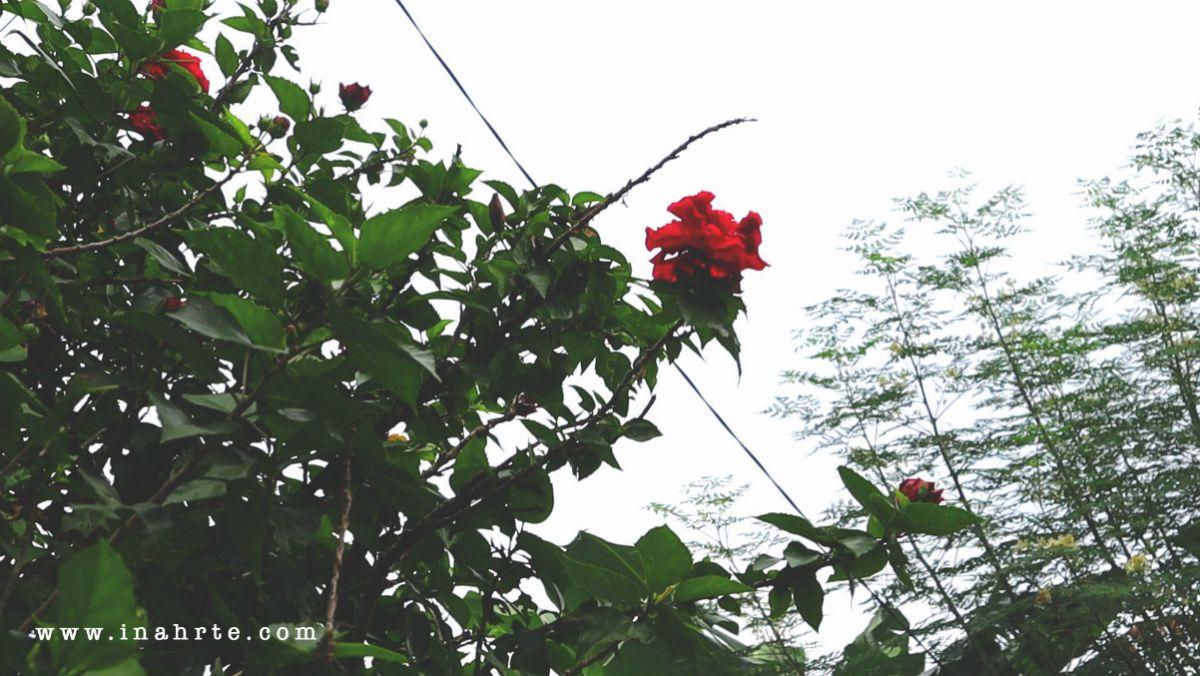 INAHRTE | Garden roses