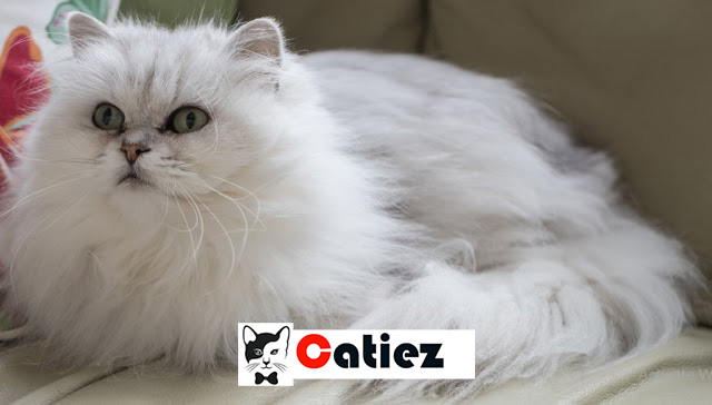 Chantilly-Tiffany Cat - all you want to know about Chantilly-Tiffany Cats
