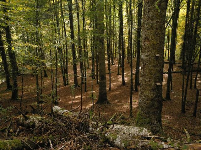 La Selva de Irati, un bosque de hayas, abetos y abedules