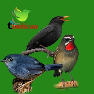Download dan dengarkan 3 jenis suara burung manca negara