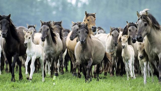 Veel paarden in het weiland