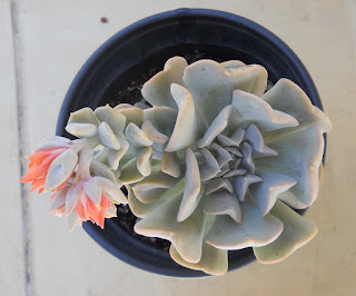 cactus en roseta Echeveria runyonii