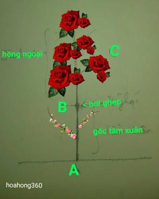nhận biết hoa hồng tầm xuân