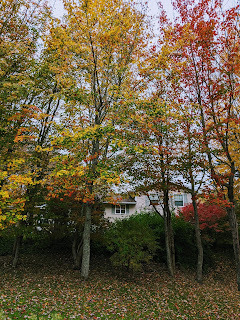 Maple Trees In Fall Colours
