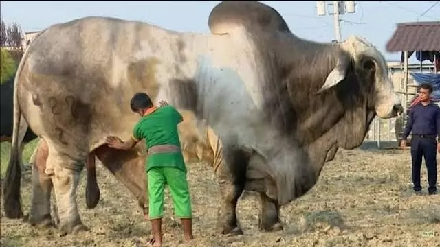 Dangerous-Cow-Qurbani-2018