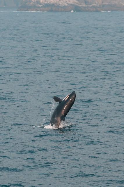 Orca, Major Marine Tour, Kenai Fjords