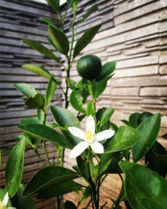 bibit pohon tanaman buah jeruk keep kip purut nipis lemon manis NAGAMI sunkis LIAMU LIMO SANTANG Jawa Timur
