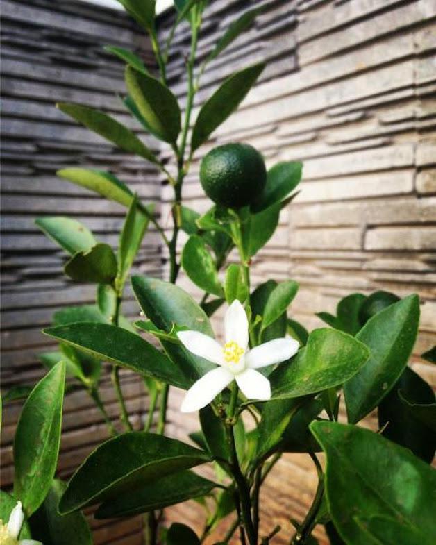 bibit pohon tanaman buah jeruk keep kip purut nipis lemon manis NAGAMI sunkis LIAMU LIMO SANTANG Bandung