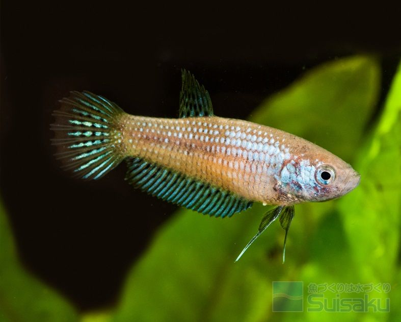 Female Betta Imbellis