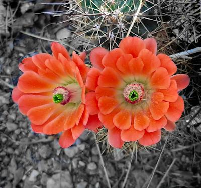 close up incredible orange cactus blooms