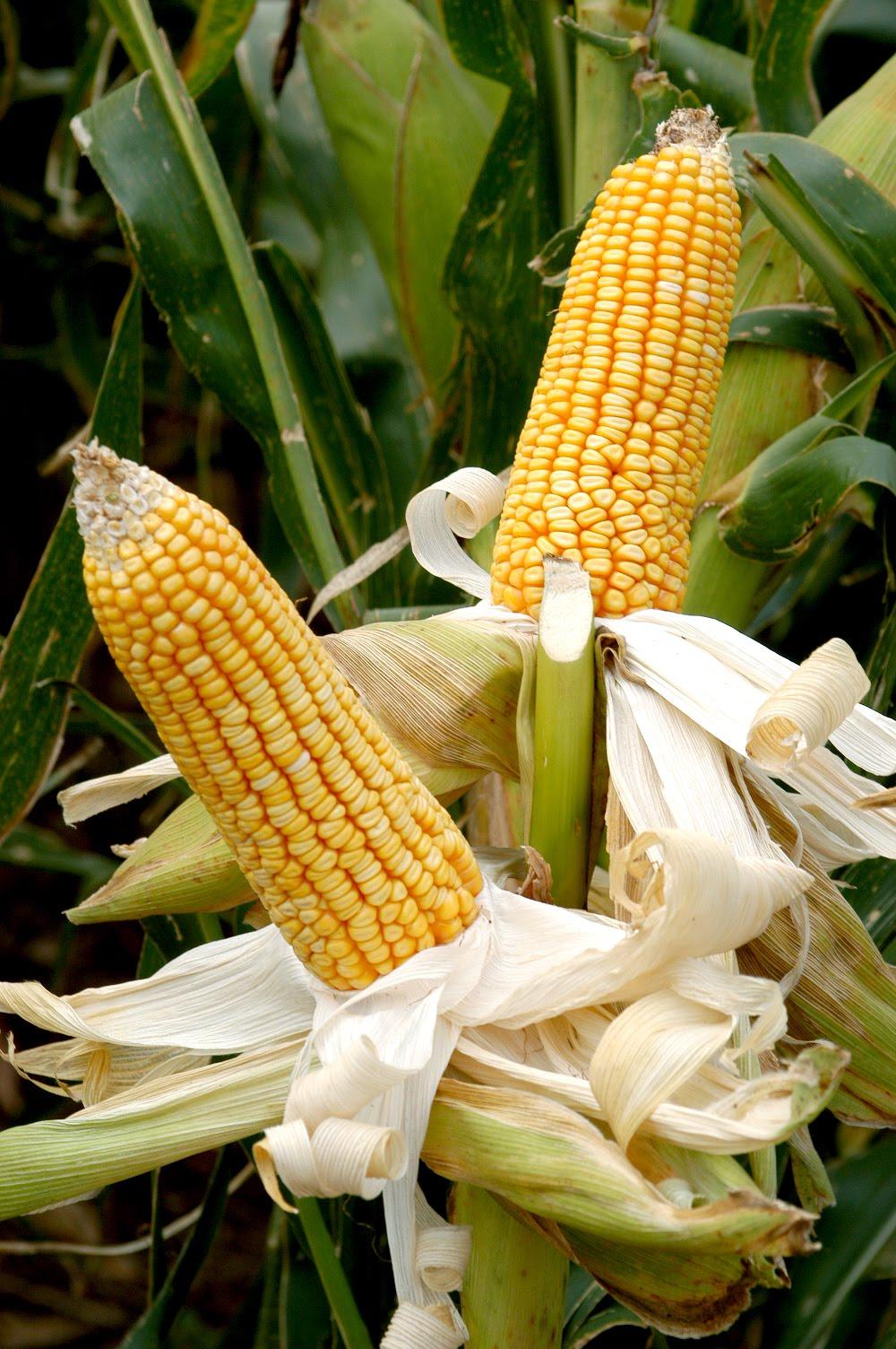 Resultado de imagem para milho para oxossi