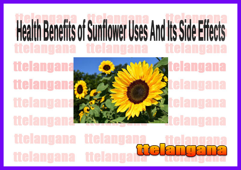 Health Benefits of Sunflower Uses And Its Side Effects