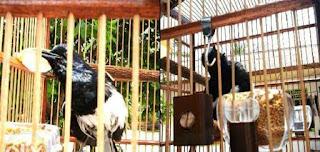 Burung Kacer - Pewarisan Burung Kacer Gen Juara Ditinjau Dari (Criss-Cross Inherithance)