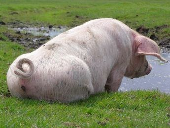 Funny Pigs - Pets Cute and Docile