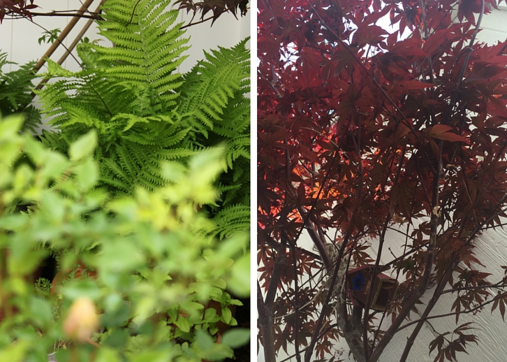 Ostrich Ferns + Japanese Maple // Garden Update: Mid May 2016 // WWW.THEJOYBLOG.NET