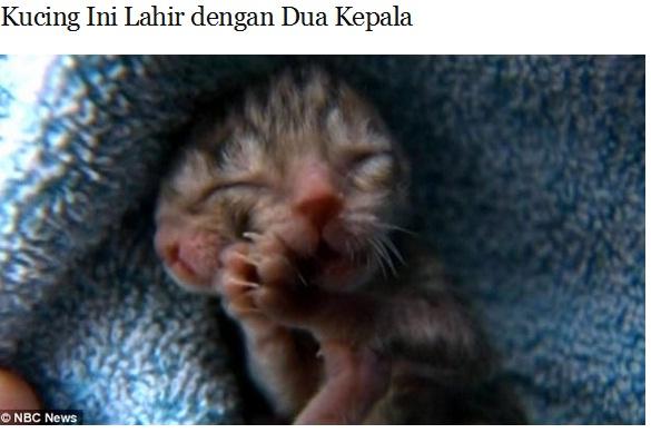 Kabar Penasaran Kucing Kembar Siam Lahir Dengan Dua Kepala