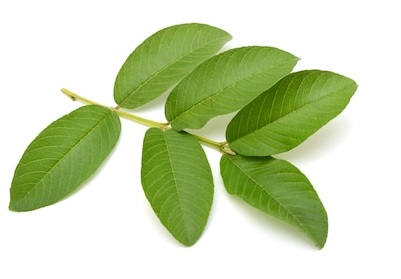Guava Leaf To Repair Damaged Hair