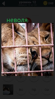 470 слов. все просто два тигра находятся в клетке в неволе 12 уровень