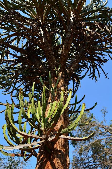 Euphorbia confinalis