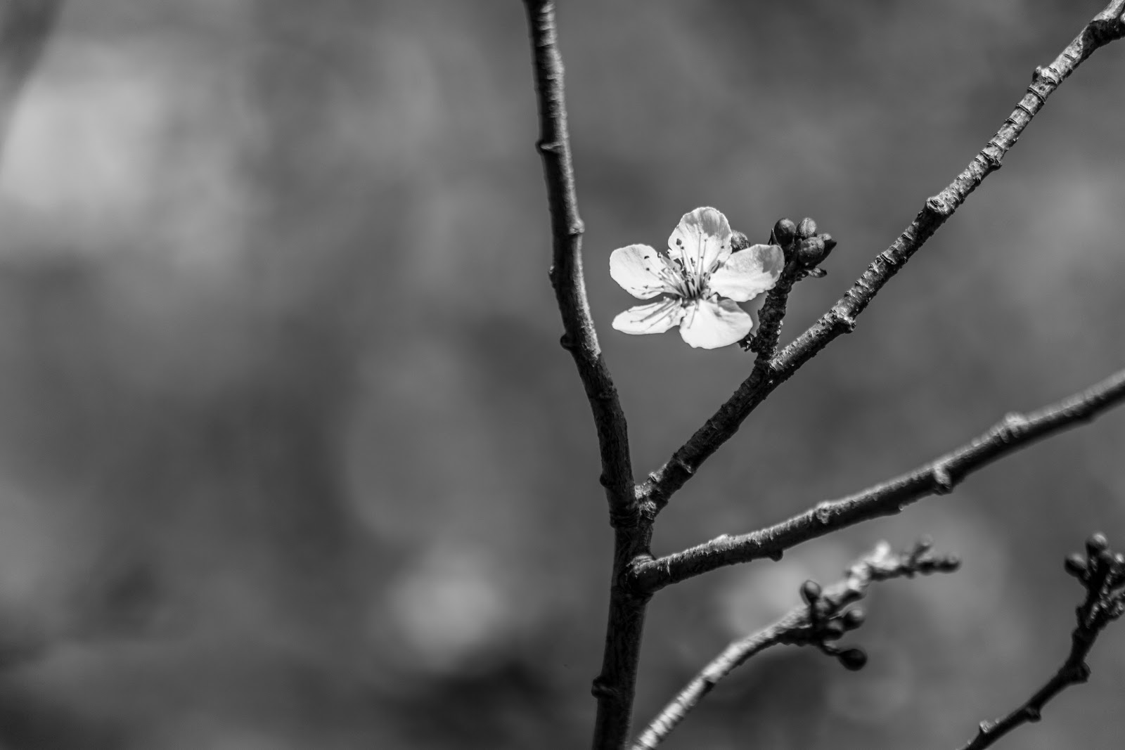 An Abstract Type Photo Of A Lonely Cherry Blossom Surrounded By Few Buds Sometimes For To Look Good Simplicity Is The Key