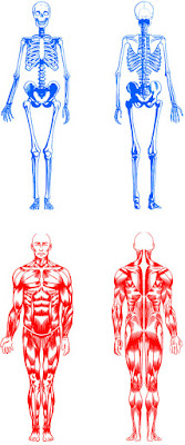 Anatomy - Skeleton / Muscle