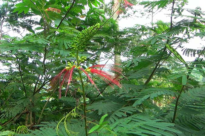 Dlium Kaliandra (Calliandra houstoniana)