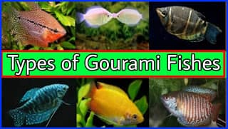 Types of Gourami Fish in india