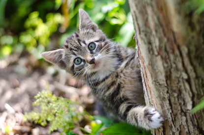 tabby kitten behind a tree