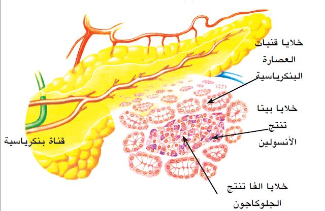 أنواع الخلايا فى جزر لانجرهانز: