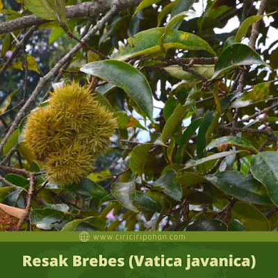 Resak Brebes (Vatica javanica)