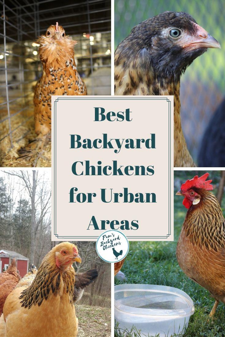 Pam's Backyard Chickens: Best Backyard Chickens for Urban ...