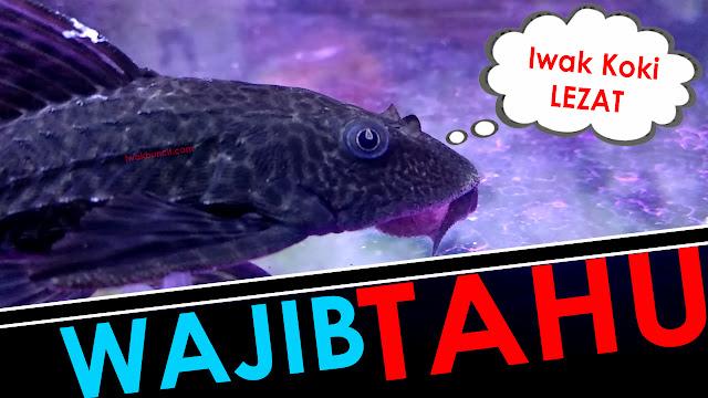 Ketahui 7 Hal Wajib Ini Sebelum Memelihara Ikan Sapu Jagat di Aquarium Ikan Mas Koki