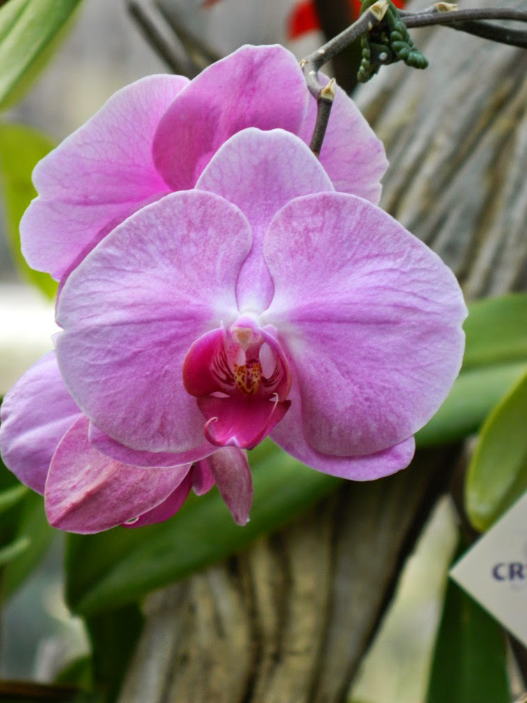 Light purple Phalaenopsis Moth Orchid Centennial Park Conservatory by garden muses-not another Toronto gardening blog