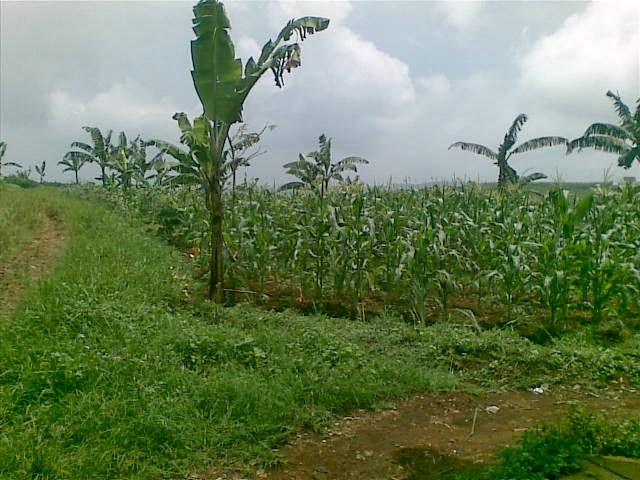 Foto(5225) Jual Tanah luas 25 Ha, Lokasi Cipanas-sukaresmi Jual tanah di cipanas jual tanah di puncak jual tanah di taman bunga nusantara