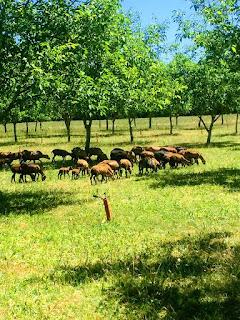 moutons cameroun verger entretien parcs jardin terrain