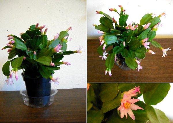 Shlumbergera Cactus