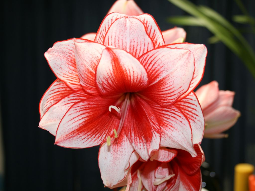 Carey 39 s flowers since 1912 i love amaryllis for Planter des amaryllis