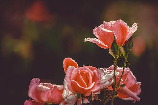 أحلى الورود ورق حائط 9