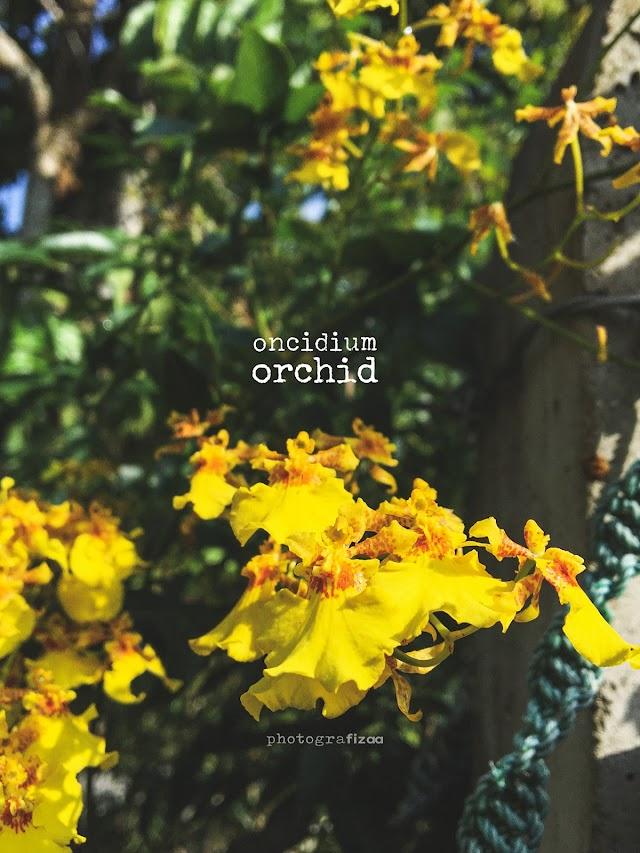 Oncidium Orchid, Yellow Gold Orchid Yang Cantik Lagi Menawan