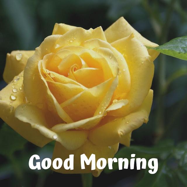 good morning yellow rose images download, good morning romantic rose, good morning rose images download, good morning red rose hd wallpaper, good morning single rose, good morning yellow rose gif