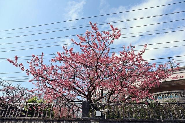 平菁街42巷美麗櫻花~陽明山賞櫻