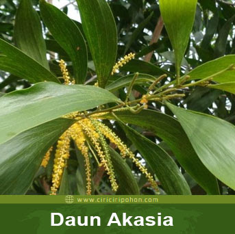 ciri ciri pohon daun akasia