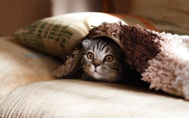 Fatos e fakes do comportamento felino